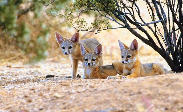 """Help Make Animal Killing Contests in Arizona a Thing of the Past Call to Action- Spirit in Action  End the brutal """"killing contests"""" in Arizona, and elsewhere These contests, known as drives or derbies, reward people of all ages with cash prizes and weapons, among other things, for killing the biggest and most animals. Imagine a Santa Slay Coyote Tournament!! Support the The Arizona Game and Fish Commission (AZGF) which has proposed a rule that would make it illegal to organize, participate in and promote wildlife killing contests throughout the state. This is NOT about predator control. It's about glorifying killing..and paying kids to do so, at least in South Dakota. Chaplains, please take action here: https://tinyurl.com/yye89yrl Rev Kaleel petministryboston.com"""