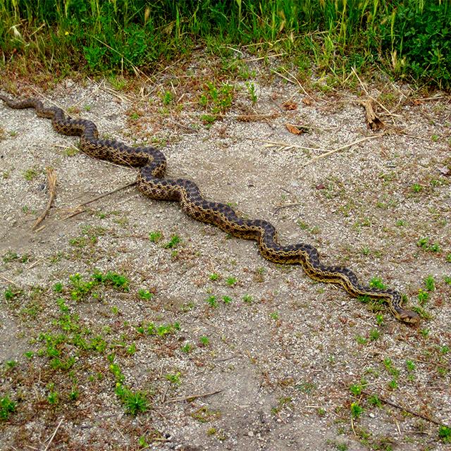San Diego Gopher Snake