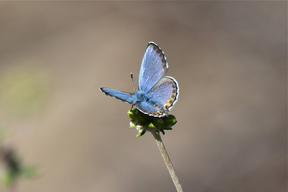 The federally endangered El Segundo Blue Butterfly, a formerly extirpated endemic species, was discovered in the restored Ballona dune system in 2011