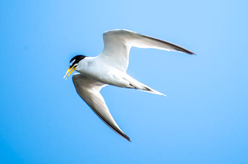 The least tern, an endangered species, needs multiple habitat types as it forages at the Freshwater Marsh and Ballona Creek during the breeding season, but raises young on small sandy dunes at Venice Beach, more than a mile away.
