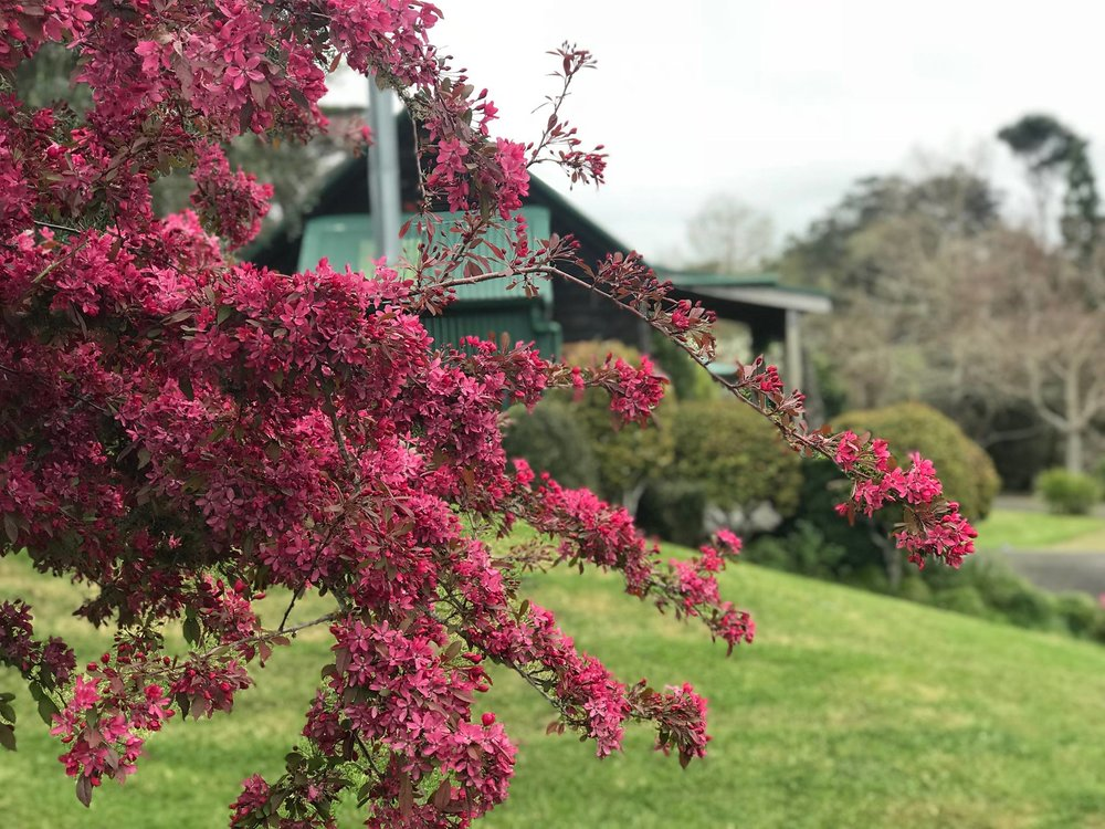 Blossoms with cottage in background.jpg