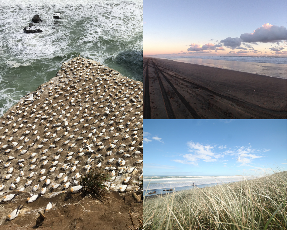 Muriwai Beach - Gannet Colony, Beach and Dunes