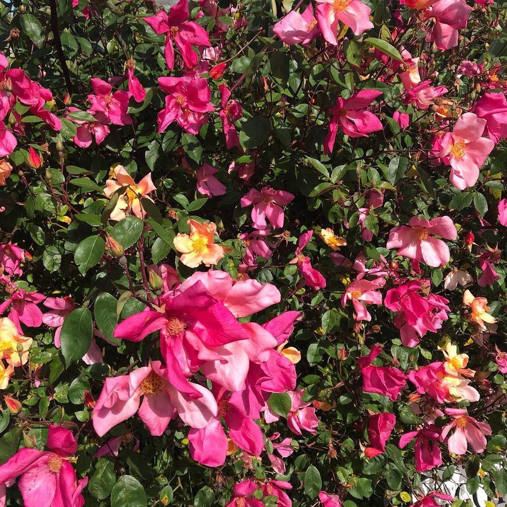 Pink roses VC.jpg
