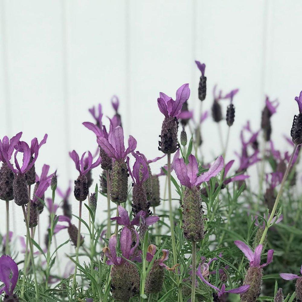VC Lavender.jpg