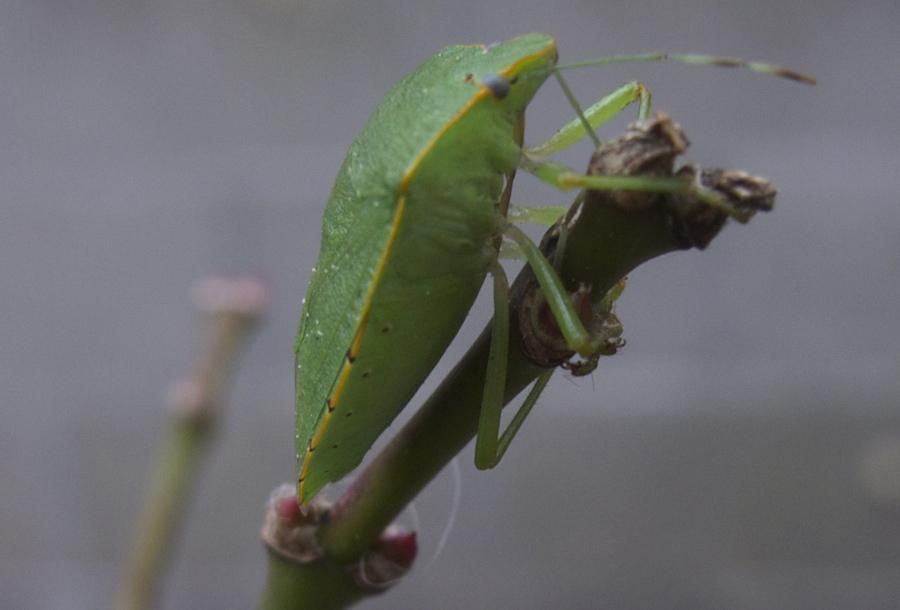 LeafInsectSide