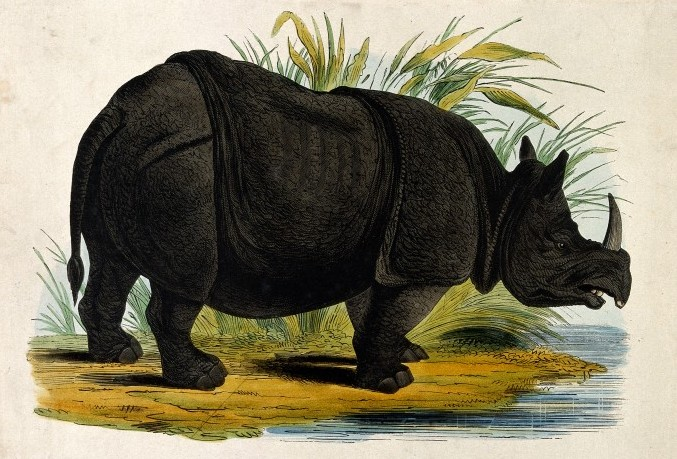 Rhinoceros / Wellcome Images