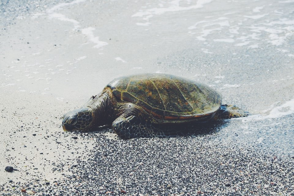 turtle on the beach.JPG