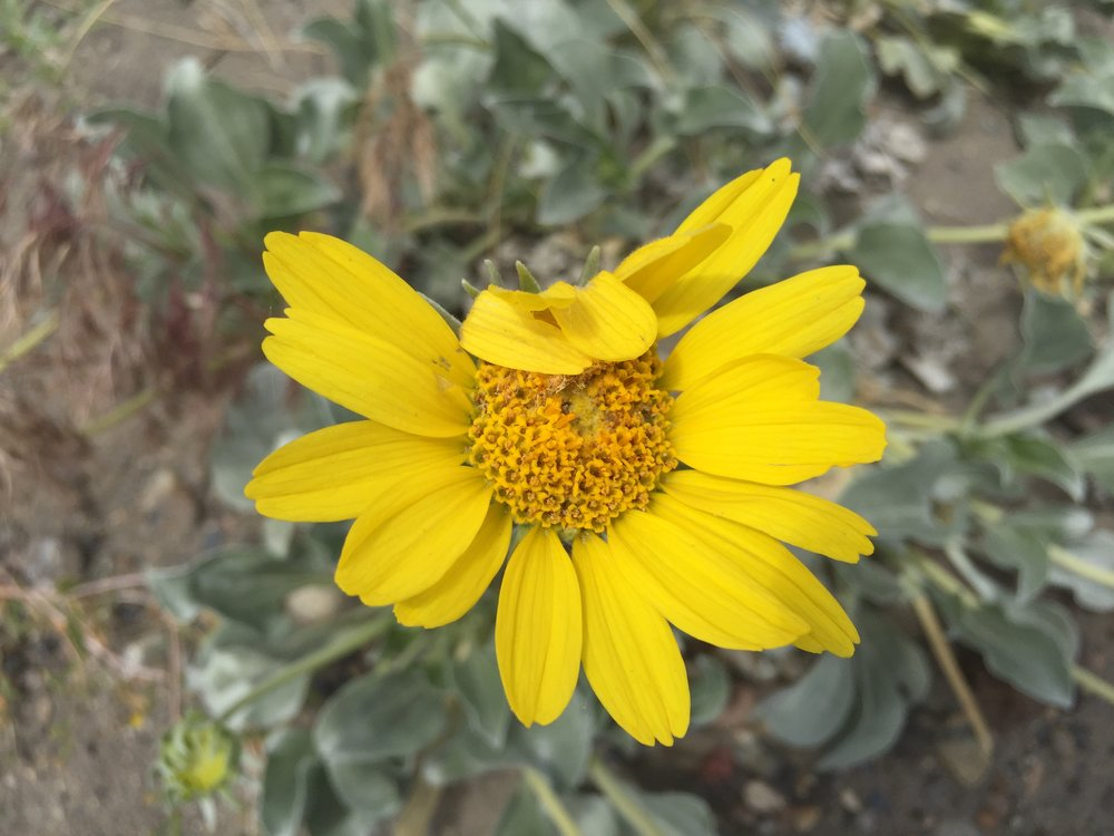 Wyethia sp.JPG