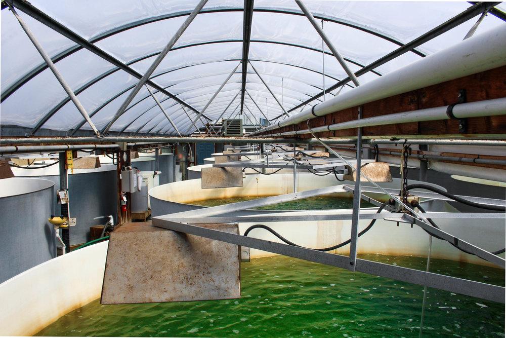 Inside Taylor Shellfish Hatchery Facility. Photo Credit: Maxim Podhaisky