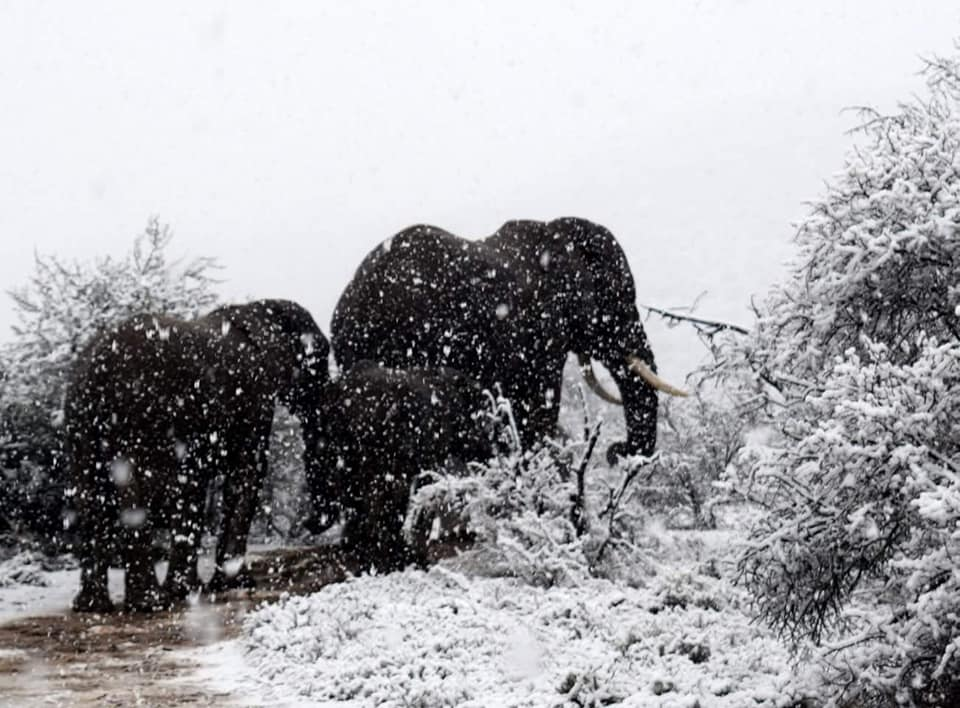 Snow in South Africa - Sept. 8, 2018 Elephants and Giraffe in the snow in Sneeuberg, Eastern Cape - South Africa !