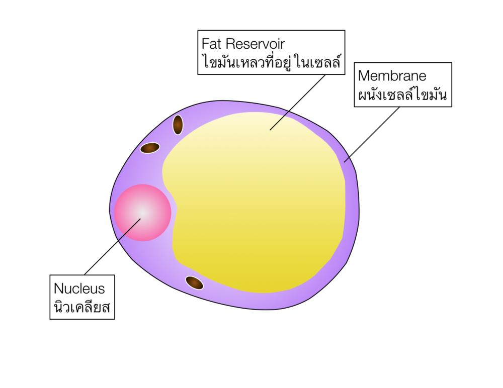 """ตัวยาทำปฏิกิริยากับผนังเซลไขมัน (Membrane) - ทำให้ผนังเซลล์ไขมัน (membrane) บางลงจนเกิดการ """"รั่วไหล"""" ของ Fat Reservior (ไขมันเหลวที่อยู่ในเซลล์) หลังจากนั้นเม็ดเลือดขาวมานำพาเซลล์ที่ฟ่อออกจากร่างกาย"""
