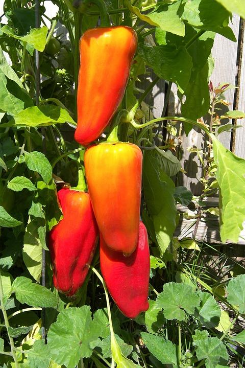 peppers-540243_960_720.jpg