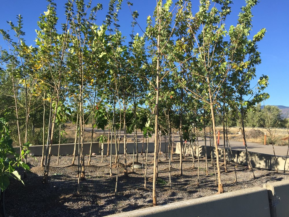 Gravel Bed Trees 2016.jpg