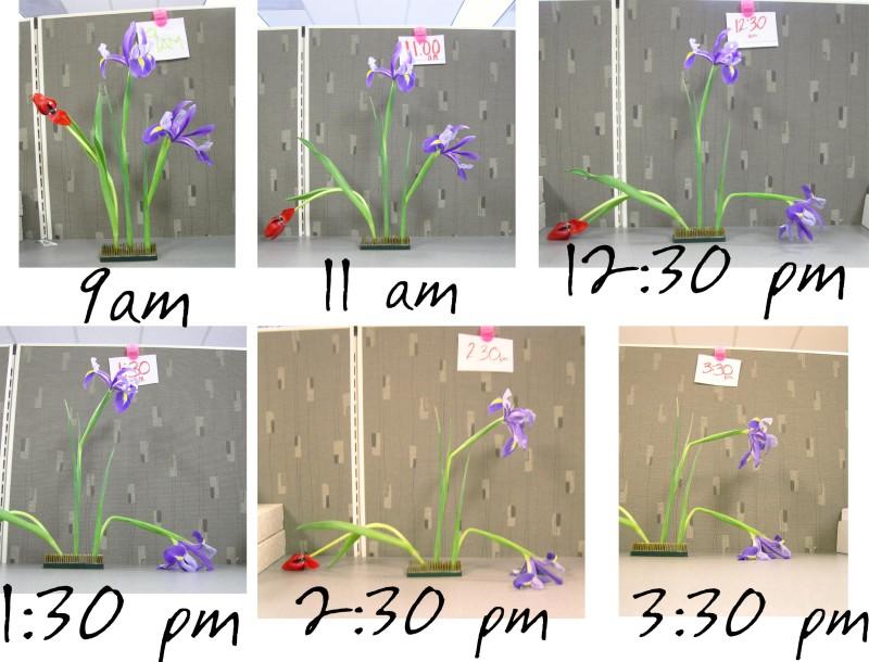 iris-vs-tulip-800x610.jpg