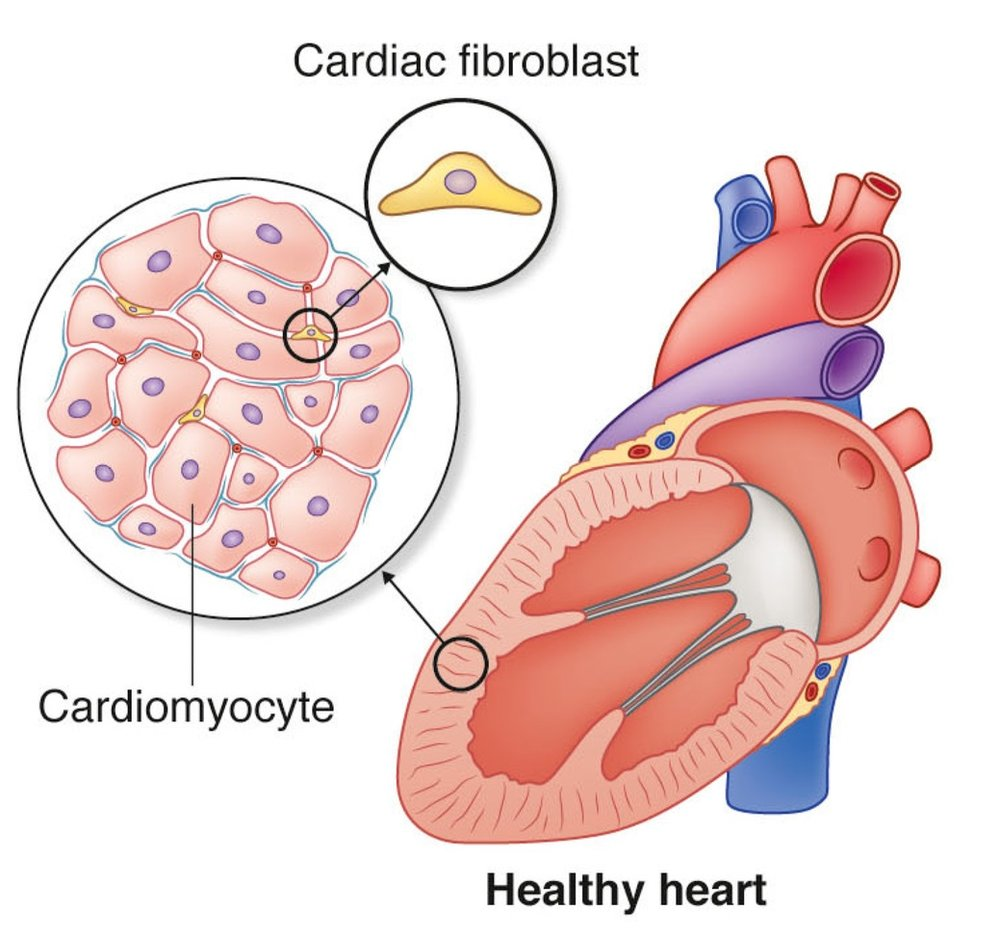 cardiac+myocytes+and+fibroblasts+allevi+GWU.jpg