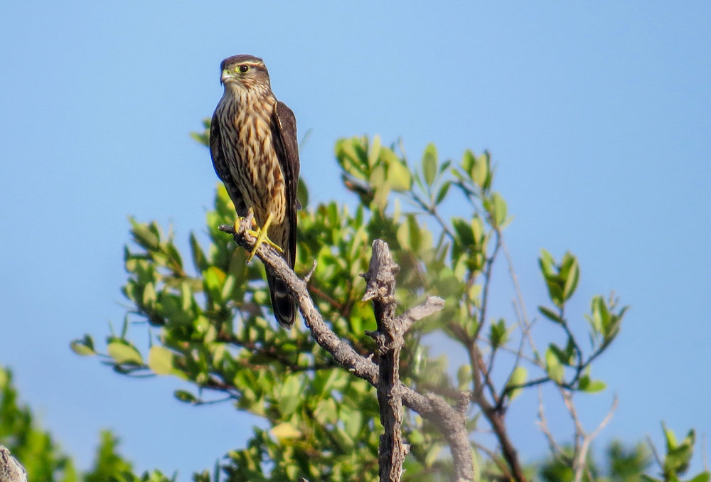 Merlin at the Florida's Keys Hawkwatch. Image by Lindsey Duval.