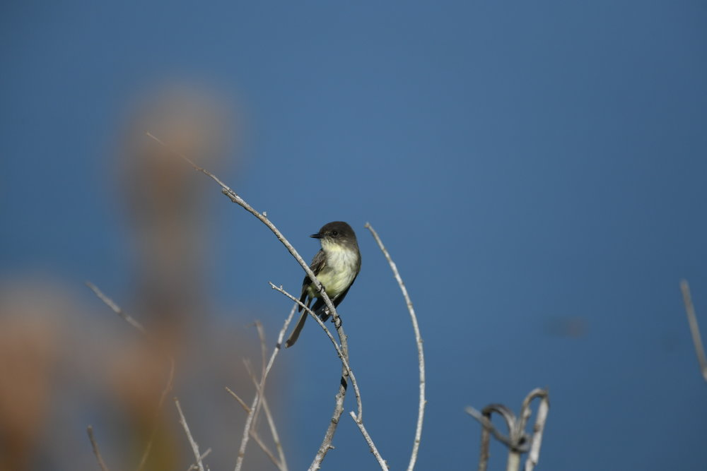 Our namesake: the Eastern Phoebe!