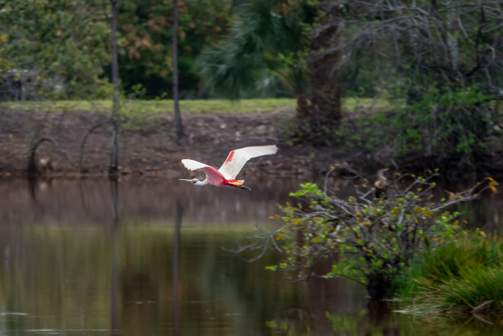 Adult Roseate Spoonbill - a lifer for many!