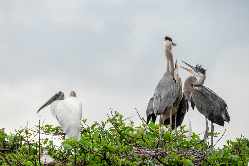 Nesting Wood Storks (left) and Great Blue Herons (right).