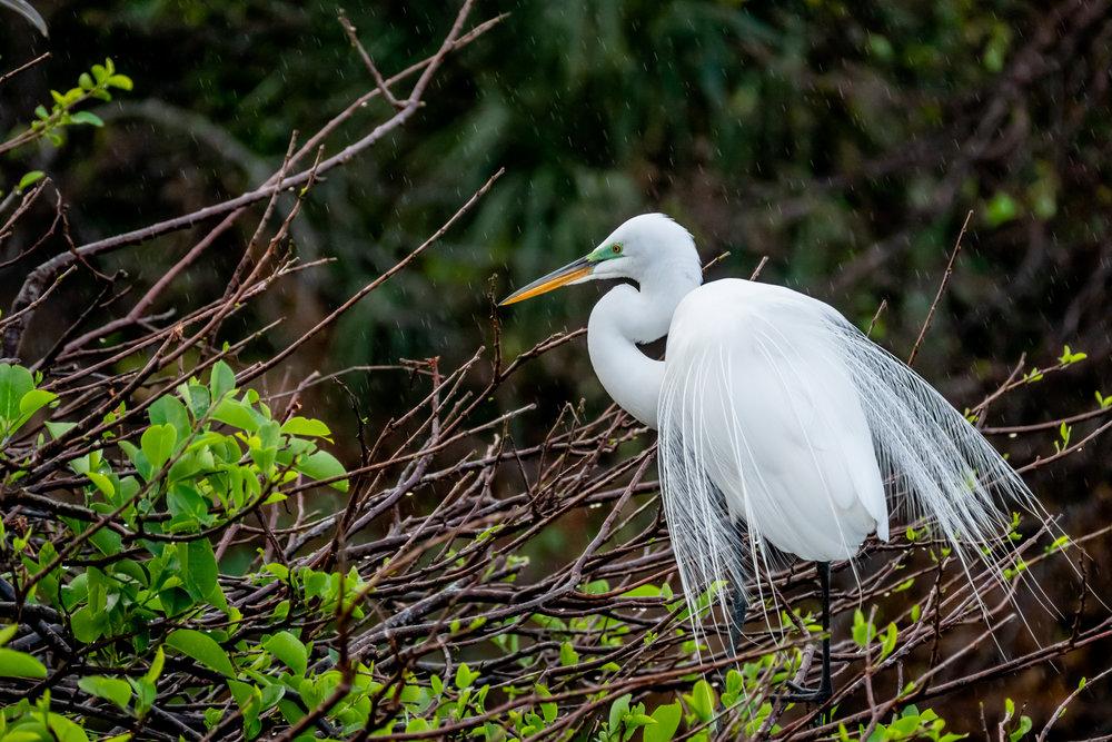 A Great Egret in full breeding plumage.
