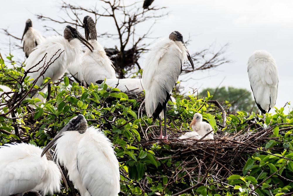 Nesting Wood Storks.