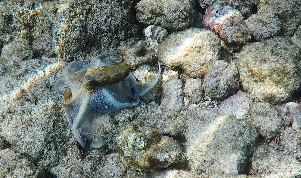 Hawaiian Day Octopus - Kailua-Kona, Hawaii