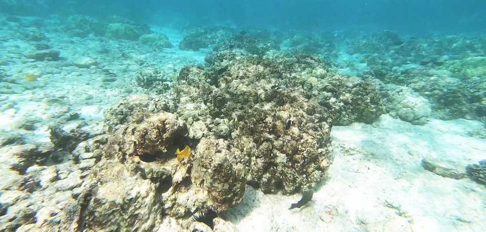 Image from Silver Spiral Seas video survey of Kahalu'u Bay, November, 2018