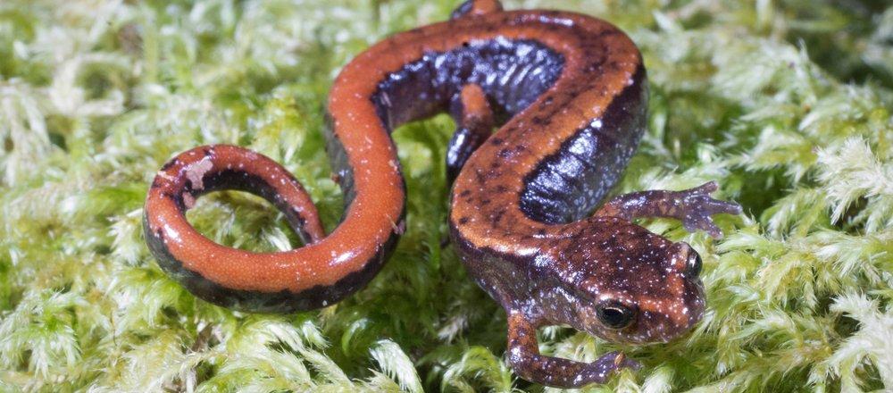 Batrachochytrium salamandrivorans -