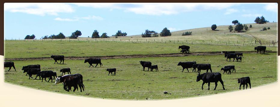 cattle_banner.jpg