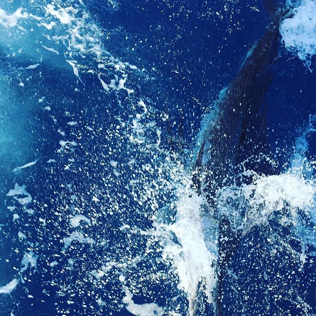 Sailfish #releasethem #billfish #bfc