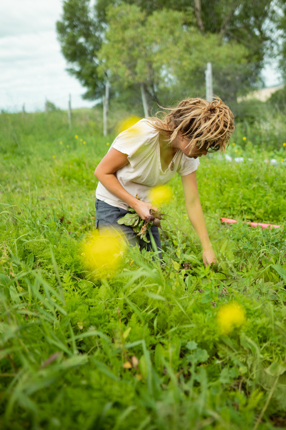 Kacy Senger picking beets at Sprig & Root Farm in Clarkston, Montana.