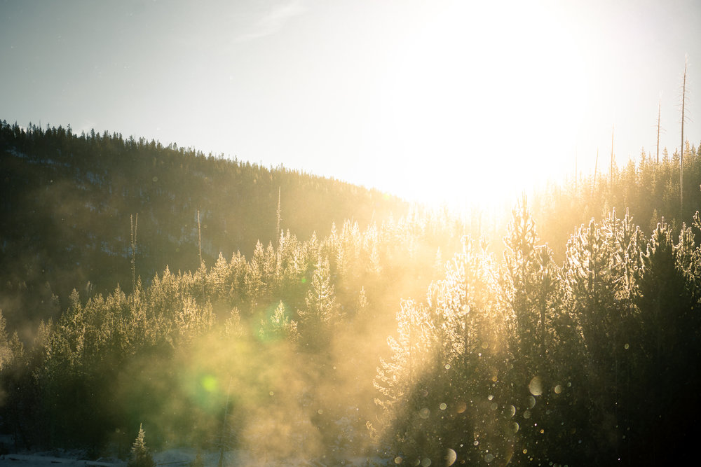 Golden light in the lodge-pole forest of Yellowstone National Park.