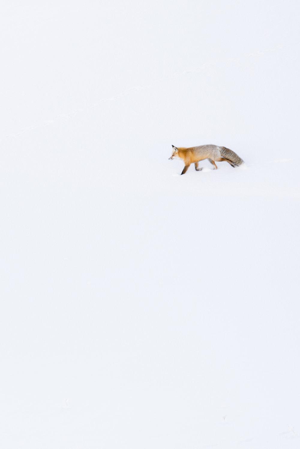 A fox in Hayden Valley, Yellowstone National Park