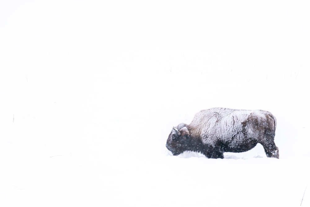 A snowy bison in Yellowstone National Park.