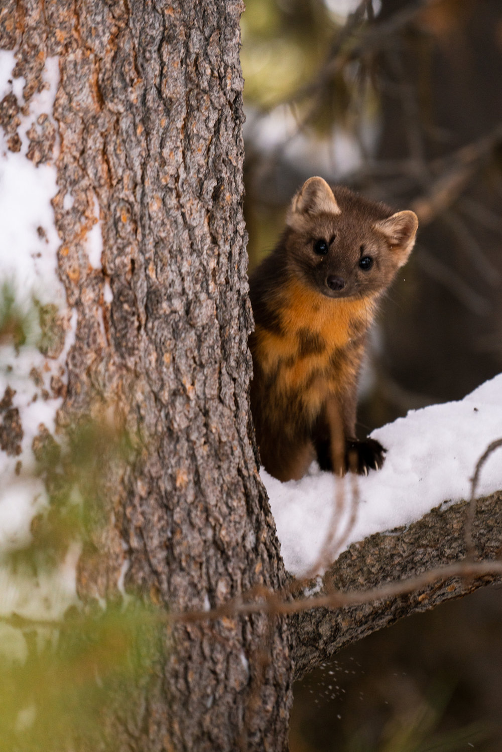 A pine marten in Yellowstone National Park.