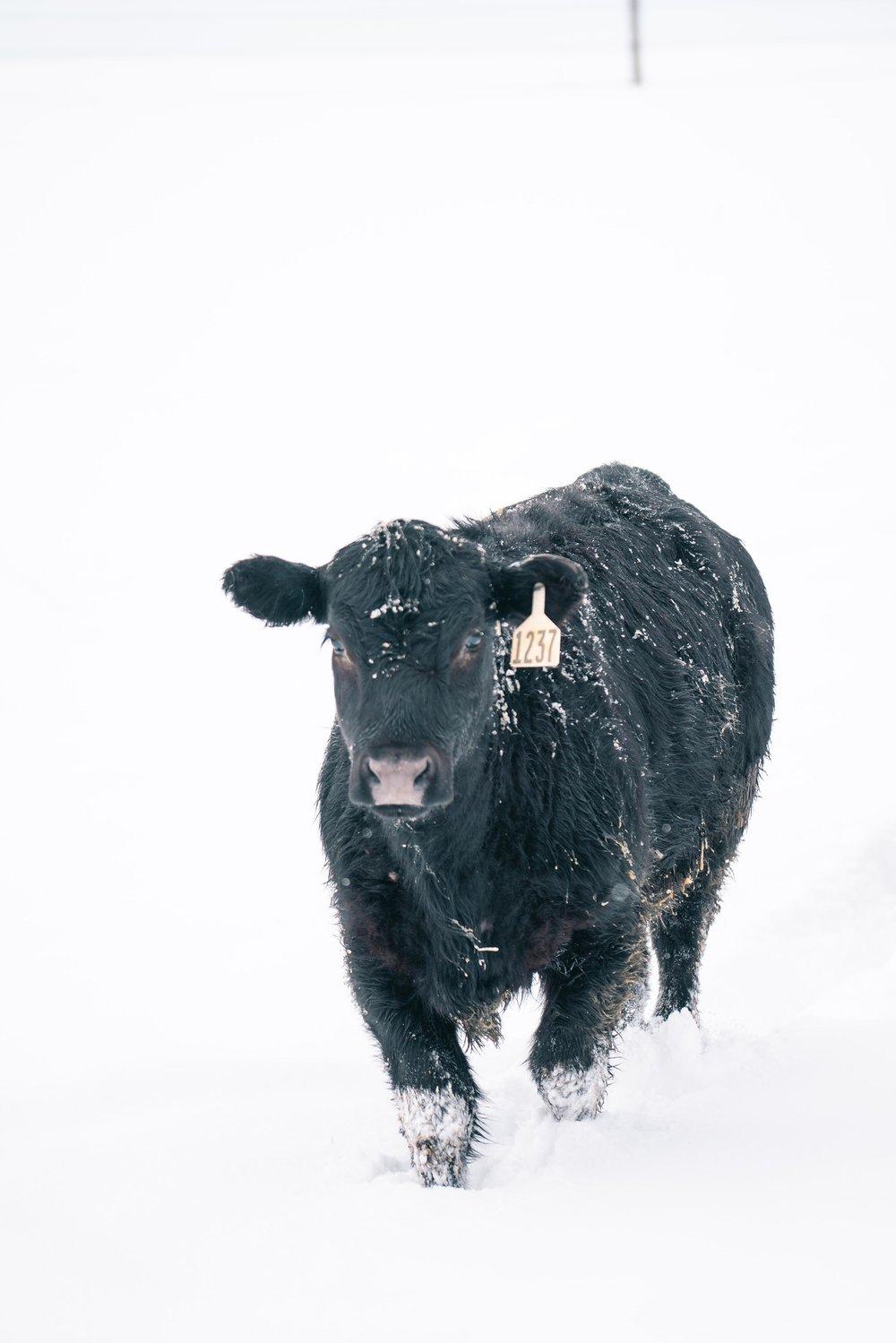 A cow heading through the snow of eastern Montana.
