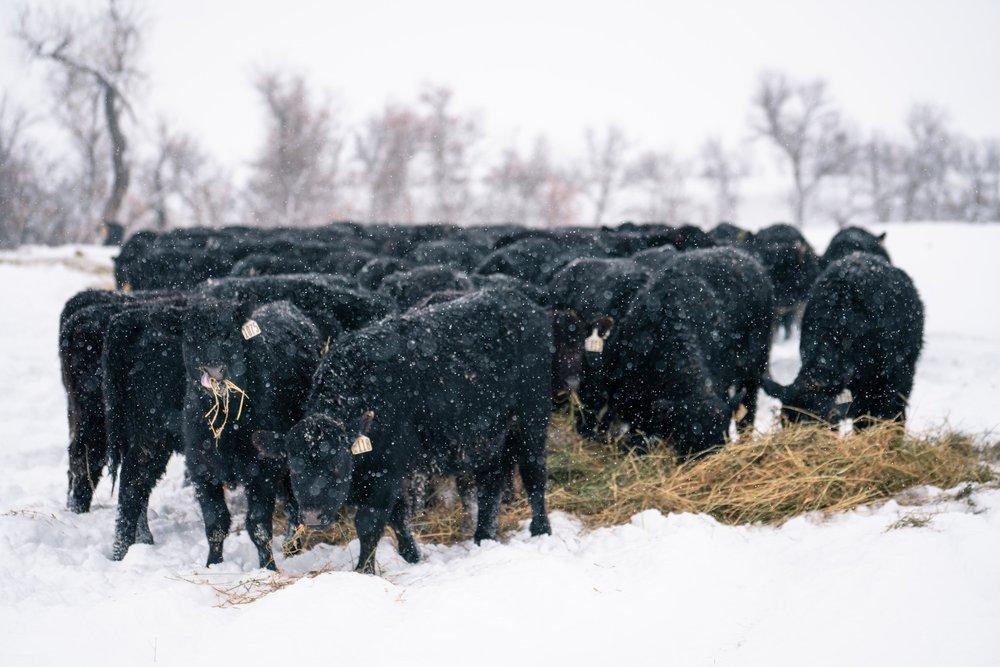 Cows feeding in eastern Montana.