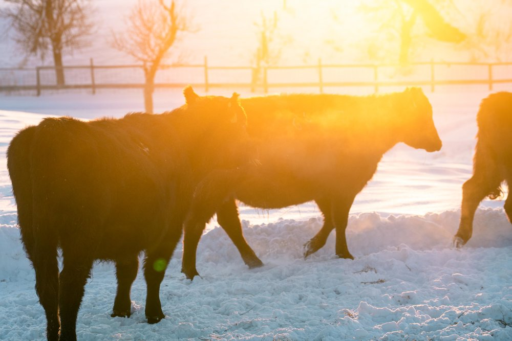 Cows at sunset in eastern Montana.