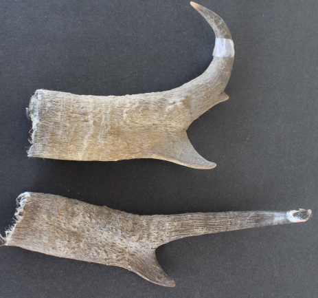Antlers & Horns for Sale — Claw, Antler & Hide Co