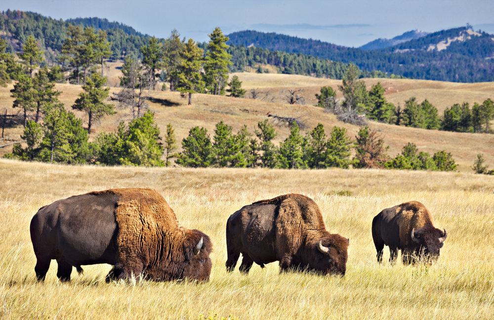 Custer State Park Buffalo Herd