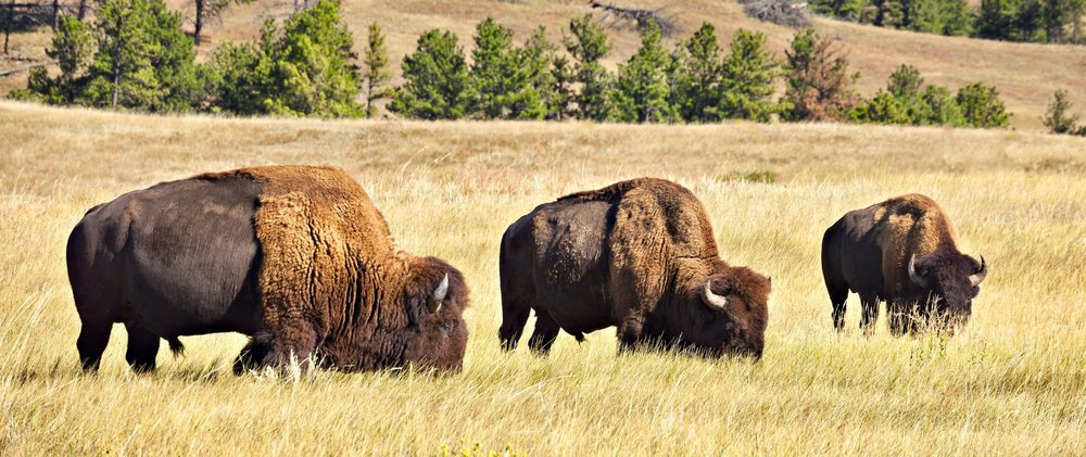 Buffalo grazing in Custer State Park