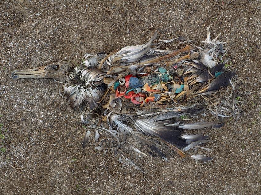 dead sea bird with stomach full of plastic