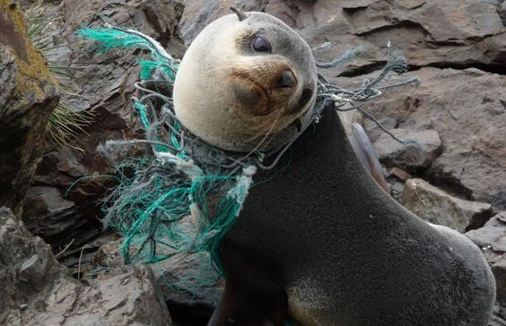 seal strangled with fishing nets
