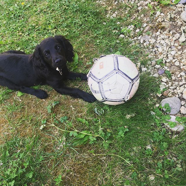 Hugo is getting in the #worldcup spirit 🐾🐶 the ball is difficult to control when it's as big as you are! ⚽️☀️#dogwalker #dogsofinstagram #sprocker #sprockersofinstagram #aylesburyvale