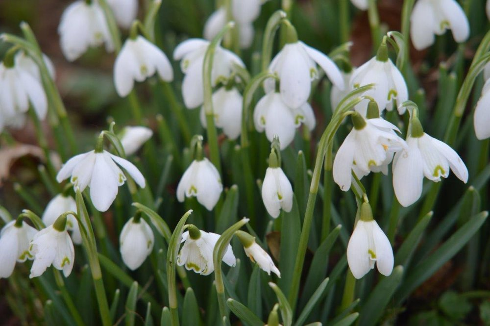 STAY SNOW DROPS.jpg