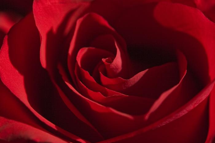 Rose 8x10-001.jpg