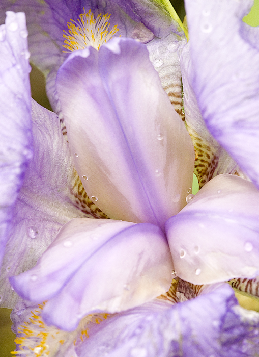 Iris001A.jpg