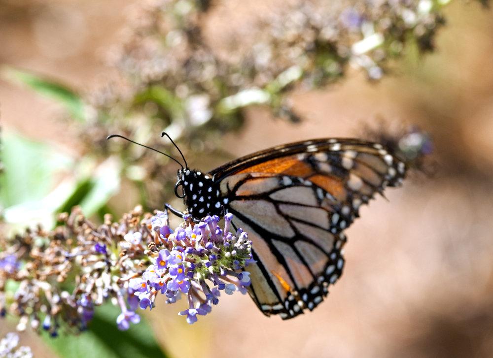 Butterfly011.jpg