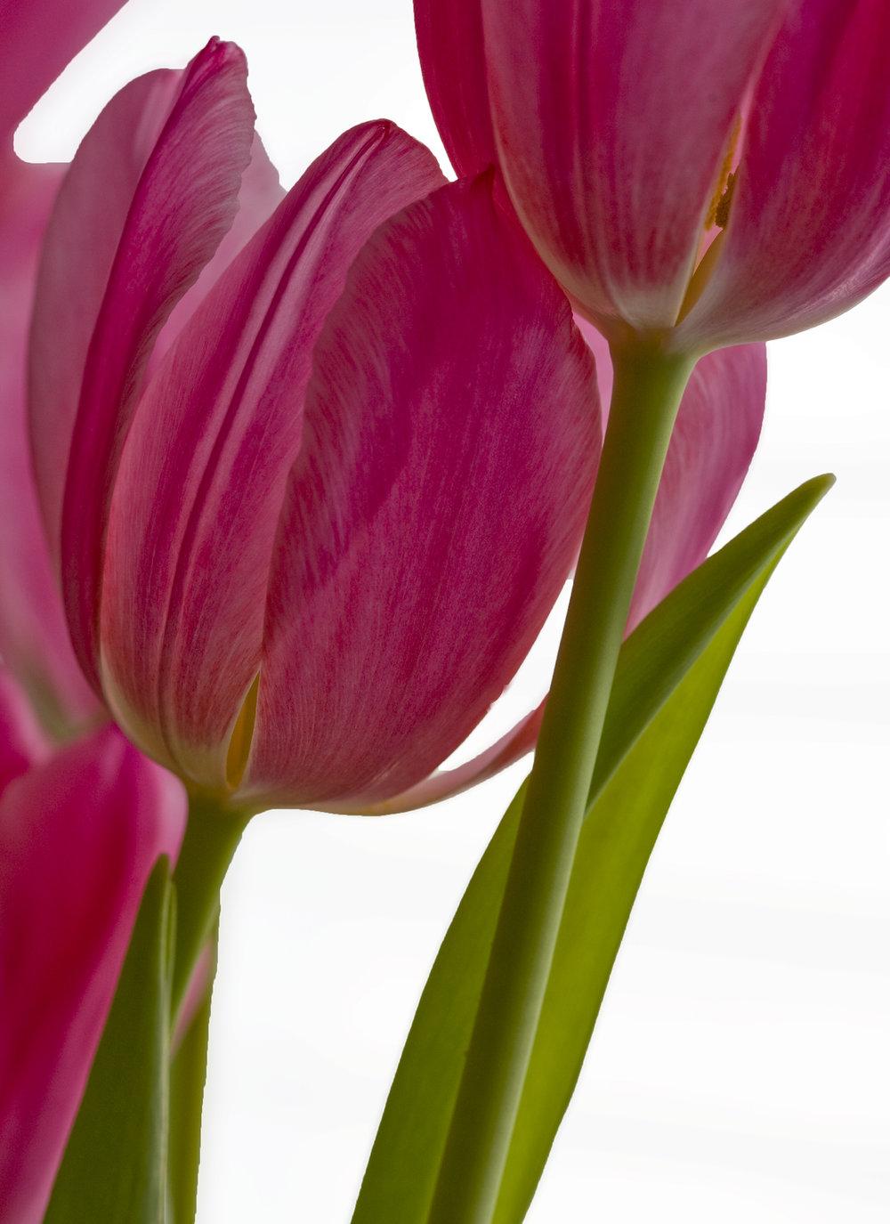 Tulips001Crop.jpg