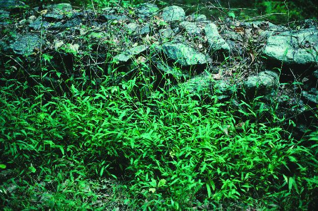 Japanese Stilt Grass (Microstegium vimineum)